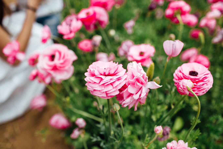Pink Ranunculus Carlsbad Flower Fields